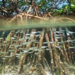 Mad about mangroves